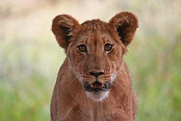Lion in Africa van