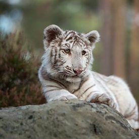 Bengal Tiger ( Panthera tigris ), young cub, white leucistic morph, lying on rocks, resting, watchin van wunderbare Erde