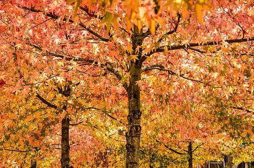 Amberbomen in de herfst van