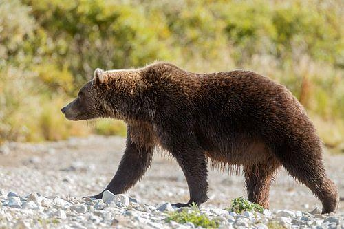 Grizzly beer van