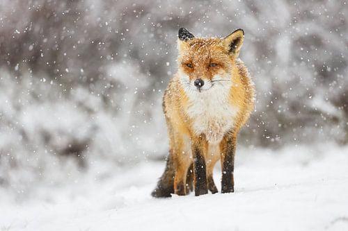 vos in de sneeuw van Pim Leijen