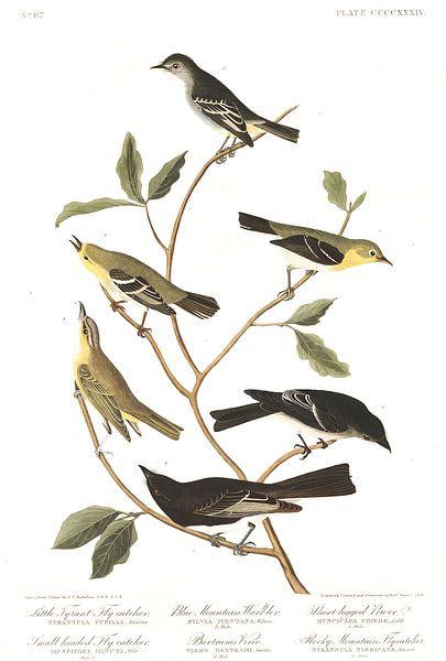 Zwarte Phoebe van Birds of America