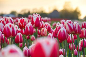 Tulpen in Julianadorp von Danny Tchi Photography