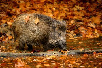Wildschwein von Daniela Beyer