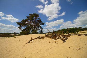 Boom in de zand duinen van de Loonse en Drunense duinen van Marco Leeggangers