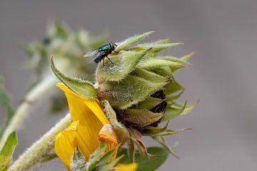 Die Haare einer Sonnenblume und einer Fliege von Anjella Buckens