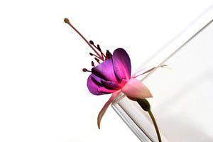 Graphik Fuchsia