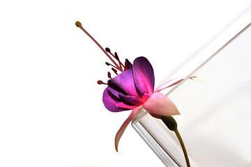 Graphik Fuchsia sur