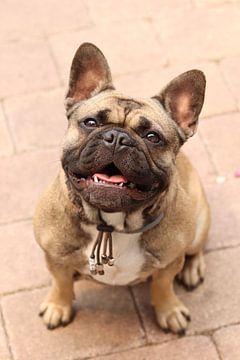 Französische Bulldogge von Mike Scheper