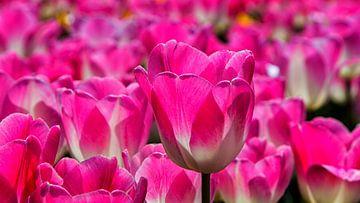 Tulpen Sinfonie op het veld  van