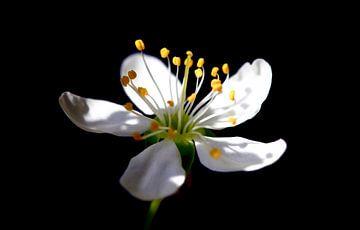 Mirabellenbäumchenblüte von Thomas Jäger