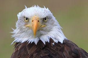 Bald Eagle is watching you ! van Marcel de Bruin