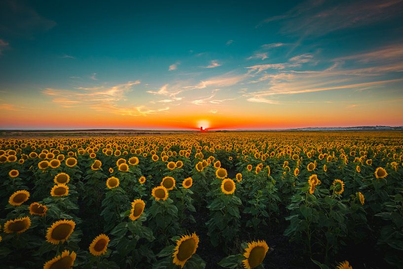 Sunflowers at sunset van Andy Troy