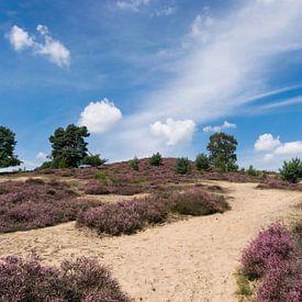 Violettes, blühendes Heidekraut auf der Posbank von seiner besten Seite. von Patrick Verhoef