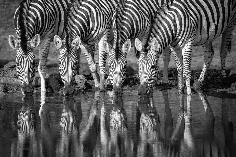 Vier zebra's drinkend naast elkaar, in zwart wit van Caroline van der Vecht