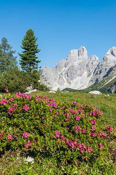 Alpenrose & Gosaukamm von Coen Weesjes