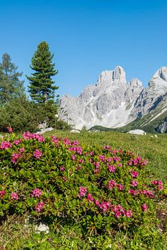 Alpenrose & Gosaukamm sur Coen Weesjes