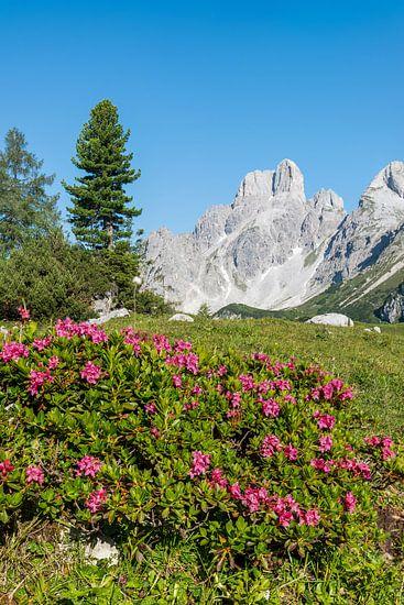 Alpenroosjes in de Bergen II van Coen Weesjes