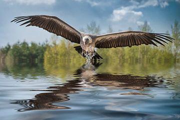 Gier vliegt rakelings over het water van Egon Zitter