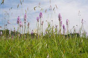 Orchideeënweide - Blauwgrasland van