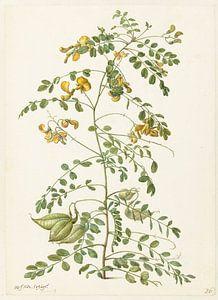 Blazenstruik (Colutea arborescens), Herman Saftleven
