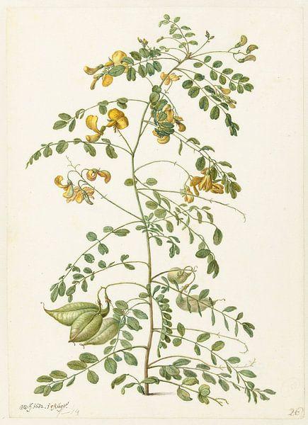 Blazenstruik (Colutea arborescens), Herman Saftleven von Meesterlijcke Meesters