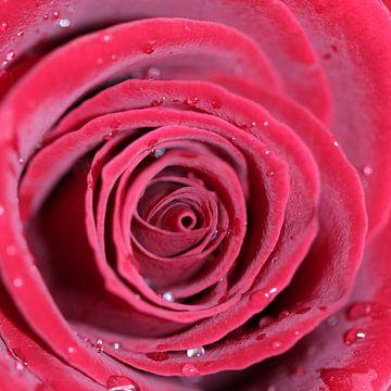 Rosentropfen van