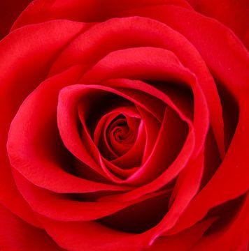 Rode roos van John Groen