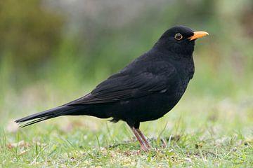 Common Blackbird * Turdus merula * van