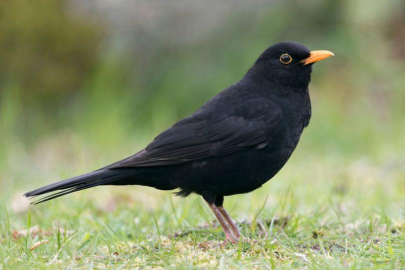 Common Blackbird * Turdus merula * van wunderbare Erde