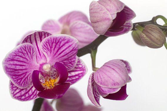 Mooie paarse Orchidee van Saskia Bon