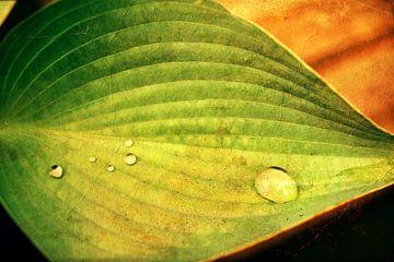 Grüne Hosta von Swaasfotografie