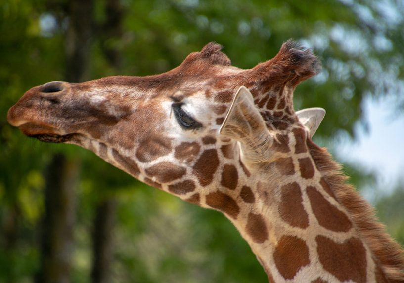 Giraffe nur mit Kopf 2 von Artoon Projects