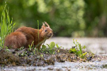Rode eekhoorn nieuwsgierig kijkend sur Carla Odink