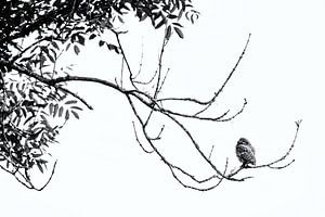 Steenuil hoog in de boom