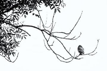 Steenuil hoog in de boom von Miranda Bos