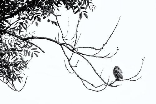 Steenuil hoog in de boom van