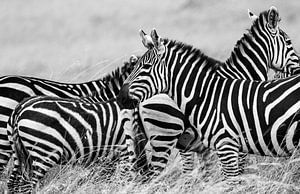Zebra onderonsje van