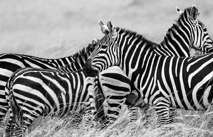 Zebra onderonsje van Van Renselaar Fotografie
