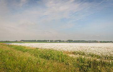 Landschaft mit einem großen Feld voller blühender Margeriten von Ruud Morijn
