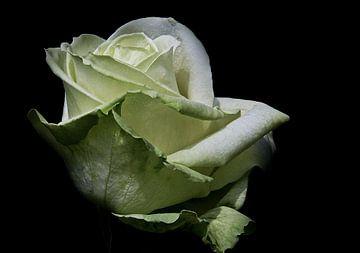 Aspirin Rose sur