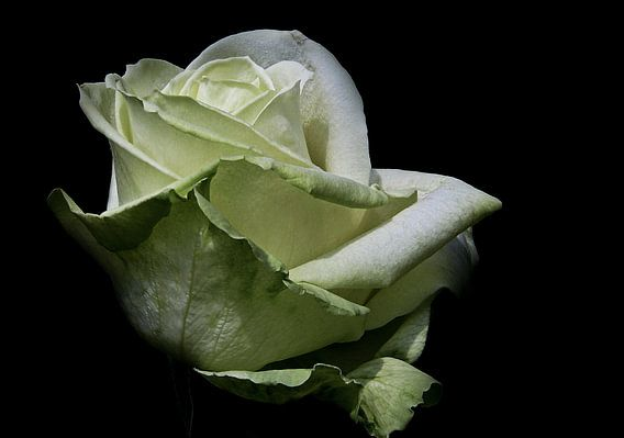 Aspirin Rose van Jos Verhoeven