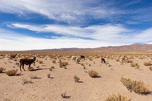 Lamas in der Wüste