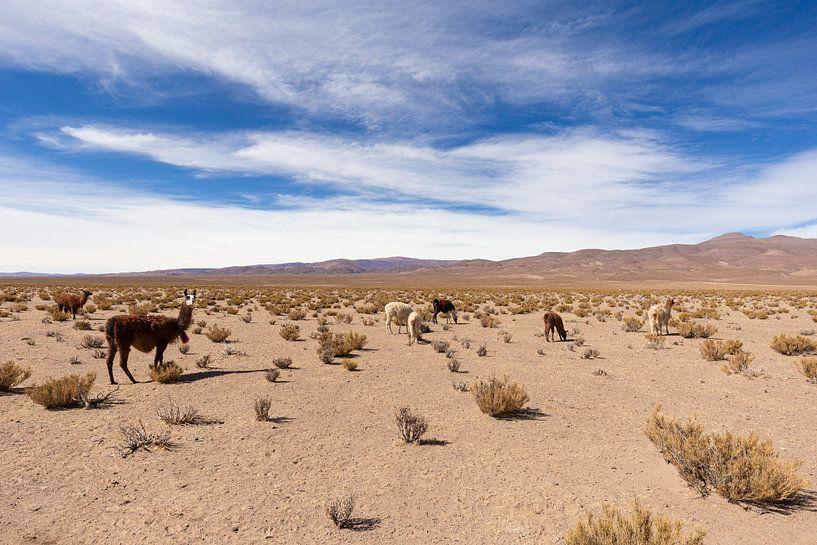 Lamas in der Wüste von Merijn Geurts
