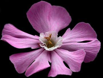 Roze bloem van MSP Canvas