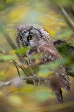 Boreal Owl / Tengmalm's Owl  ( Aegolius funereus ) sitting in a tree in midst of autumnal colored ye van