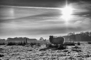 Schafe von Elke van Hessem