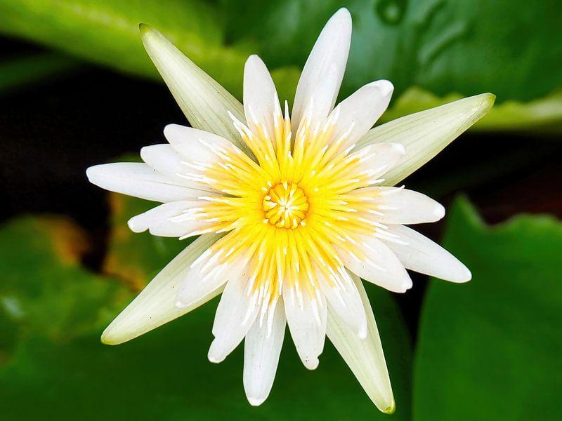 Heilige Lotus van Eduard Lamping
