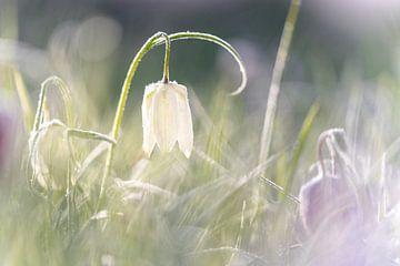 Weißes Sonnenlicht der Kiebitzblume morgens auf der IJssel von Fotografiecor .nl