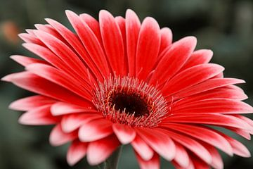 Rode bloem van Stedom Fotografie